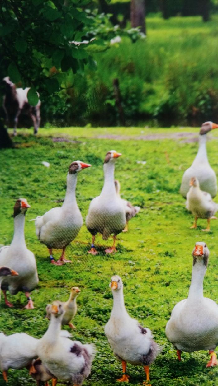 Het ganzenwonder, een belevenis in Vaassen.